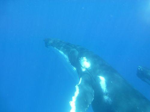 humpback whale whale cetaceans