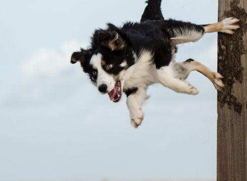 hundesport border collie dog trick