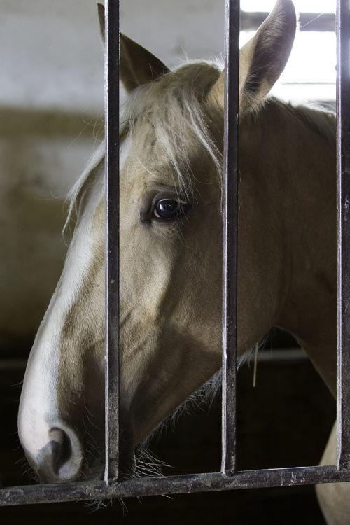 hungarian horse intelligent face loose box