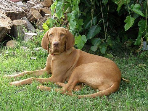 hungarian vizsla hungarian hound beagle