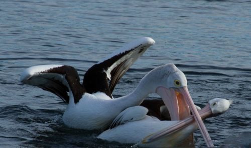 hungry pelican attack