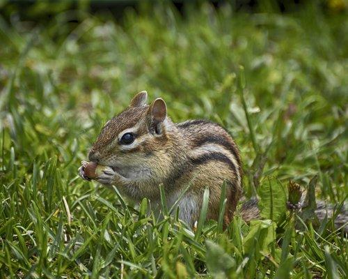hungry chipmunk  green grass  chipmunk pokes