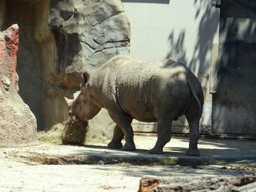Hungry Rhino