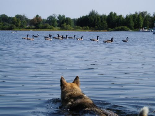 hunting dogs animal