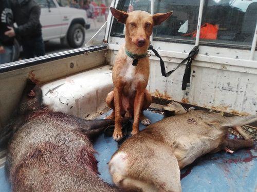 hunting dog wild pig roe deer