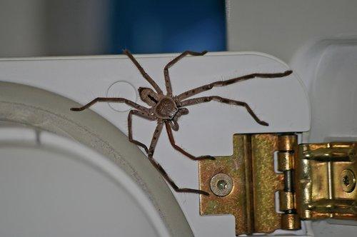 huntsman spider  spider  large
