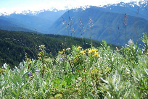 hurricane ridge mountain wildflowers