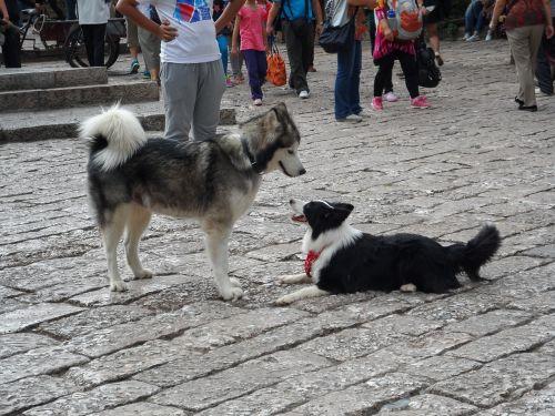 huskies lijiang animal