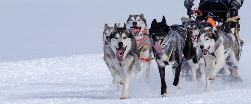 huskies sled dog racing sled race