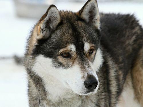 husky dog face