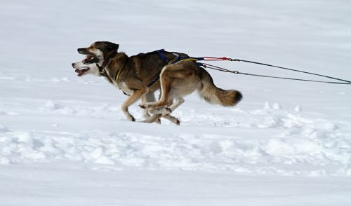 husky dog animal