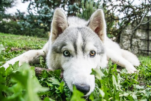 husky  siberian husky  dog