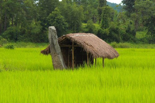 hut  green paddy  green nature