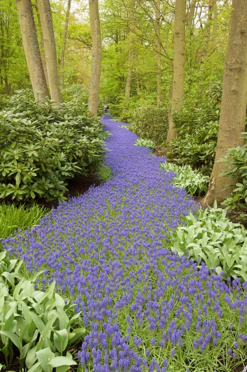 hyacinth grape hyacinth forest path