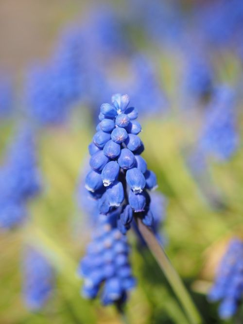 hyacinth muscari common grape hyacinth