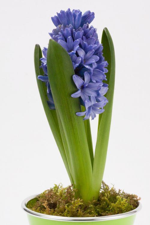 hyacinth hyacinthus orientalis asparagaceae