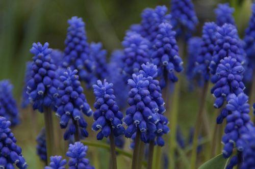 hyacinth spring many