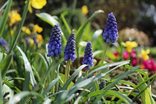 hyacinth garden garden flowers