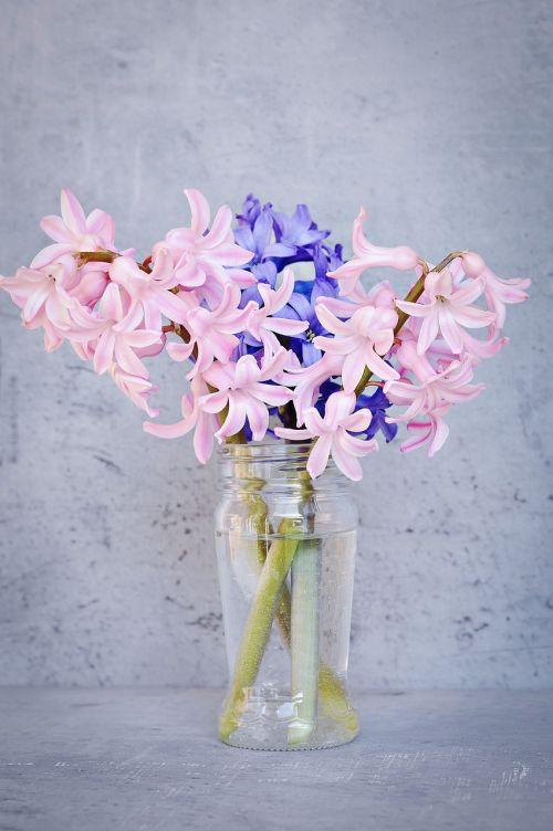 hyacinth pink blue