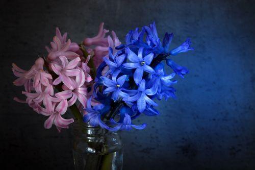 hyacinth flowers blue
