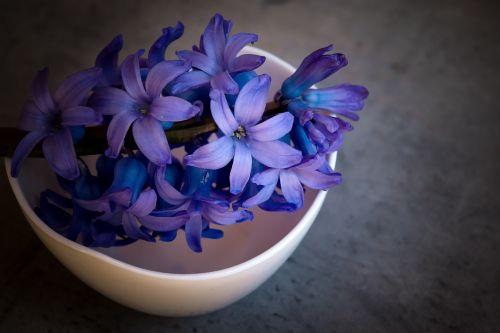 hyacinth flower violet