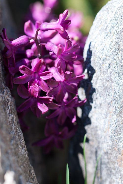 hiacintas,gėlė,žiedas,žydėti,violetinė,purpurinė gėlė,violetinė gėlė,pavasario gėlė,schnittblume,kvepianti gėlė,aromatingas,sodas,akmenys,gamta,Uždaryti