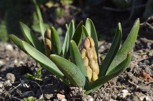 hyacinth bud spring