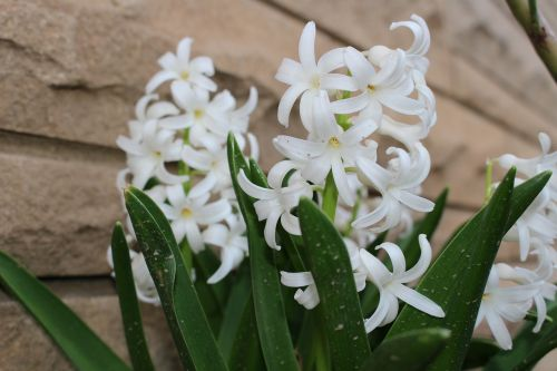 hyacinth flowers white