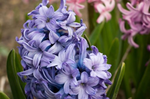 hyacinth flower blue