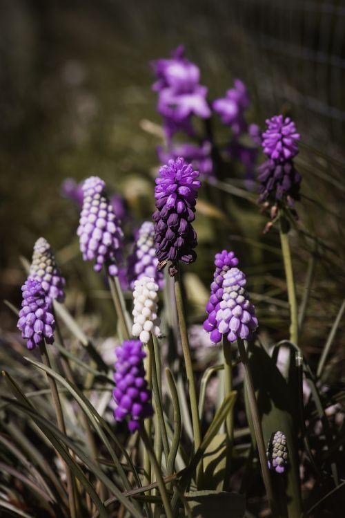 hyacinth grape-hyacinth spring