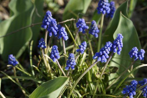 hyacinth blue ornamental plant