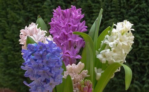 hyacinth frühlingsblüher spring