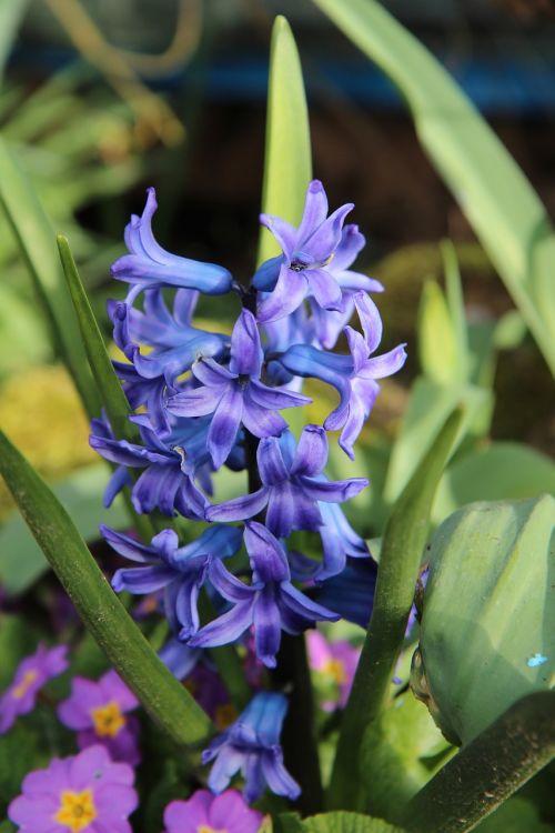 hyacinth hyacinth blue spring