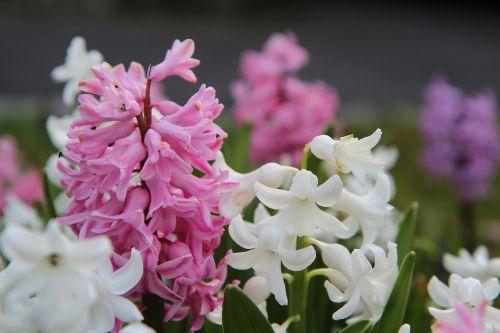 hyacinth hyacinth pink flowering