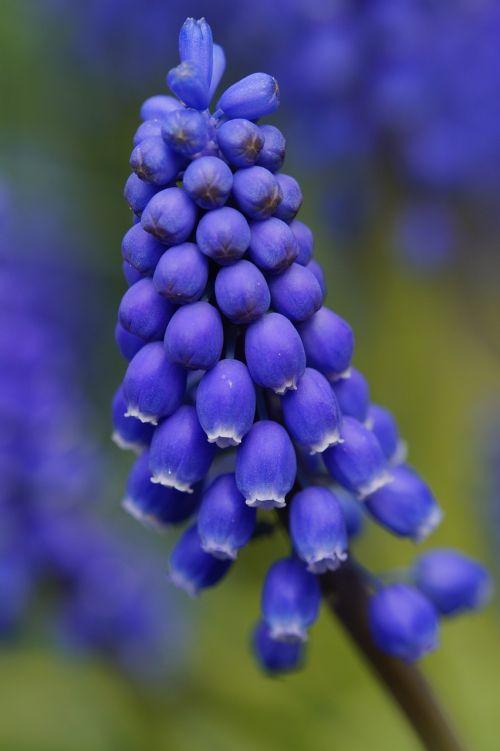 hyacinth blossom bloom