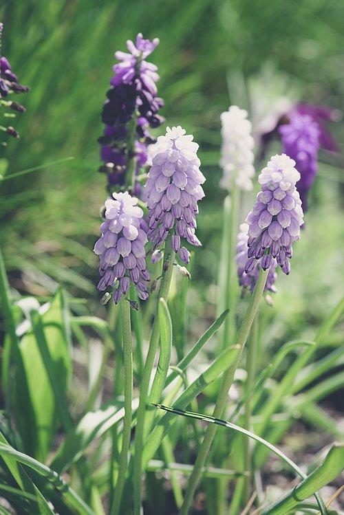 hiacintas, Sodas, gėlių sodas, Pavasario gėlė, violetinė, violetinė gėlė, gėlės, gėlė violetinė, floros, pobūdį, gėlė, augalų, sezonas, pavasaris, daugiamečių, gražus, žolė, Iš arti, Przedświt pavasario