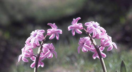 hyacinth  pink  pink hyacinths