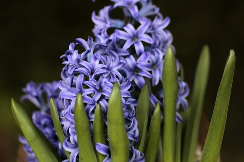 hyacinth  plant  purple