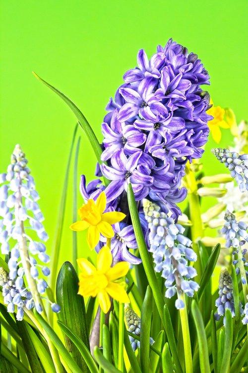 hyacinth  muscari  spring