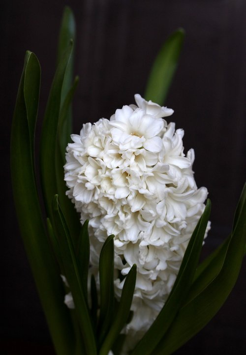 hyacinth  white  flower