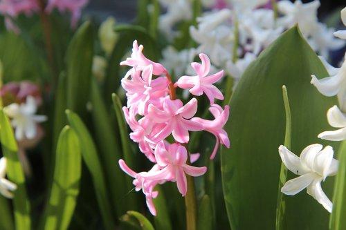 hyacinth  wild hyacinth  spring