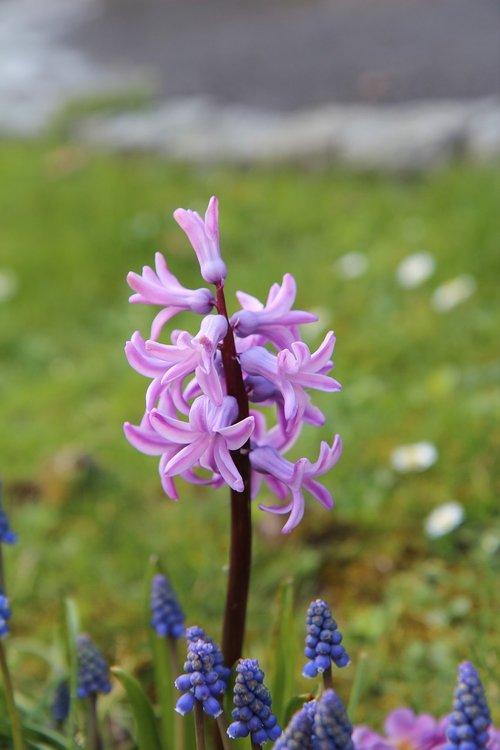 hyacinth  wild hyacinth  pink