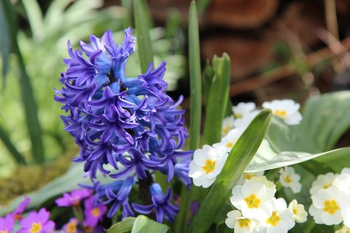 hyacinth  hyacinth blue  fragrant
