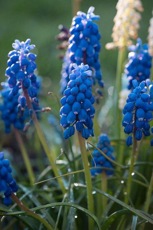 hyacinth  grape hyacinth  blue