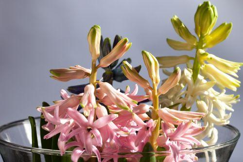 hyacinth hyacinthus orientalis genus