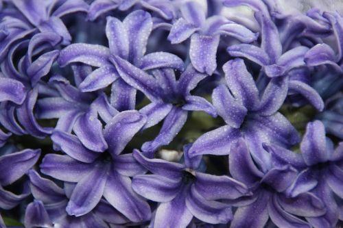 hyacinth mov flower