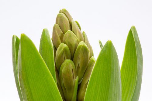 hyacinth spring green