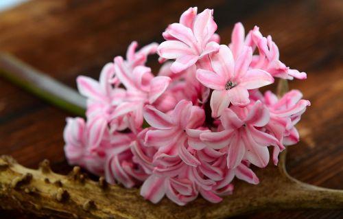 hyacinth flower spring flower