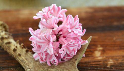 hyacinth antler wood