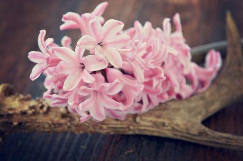 hyacinth flower flowers